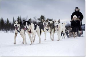 Hundar, hundspann, åka släde, vinter, aktivitetsföretag