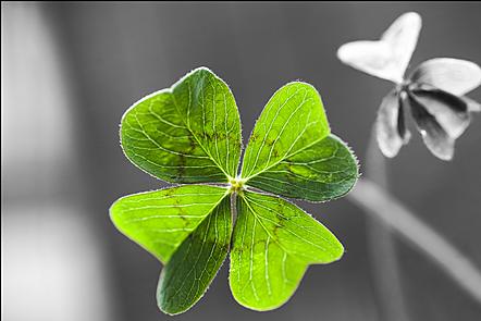 A close-up of a four leaf clover.
