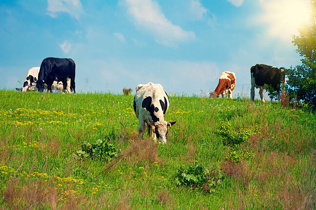 Five cows grazing on a field
