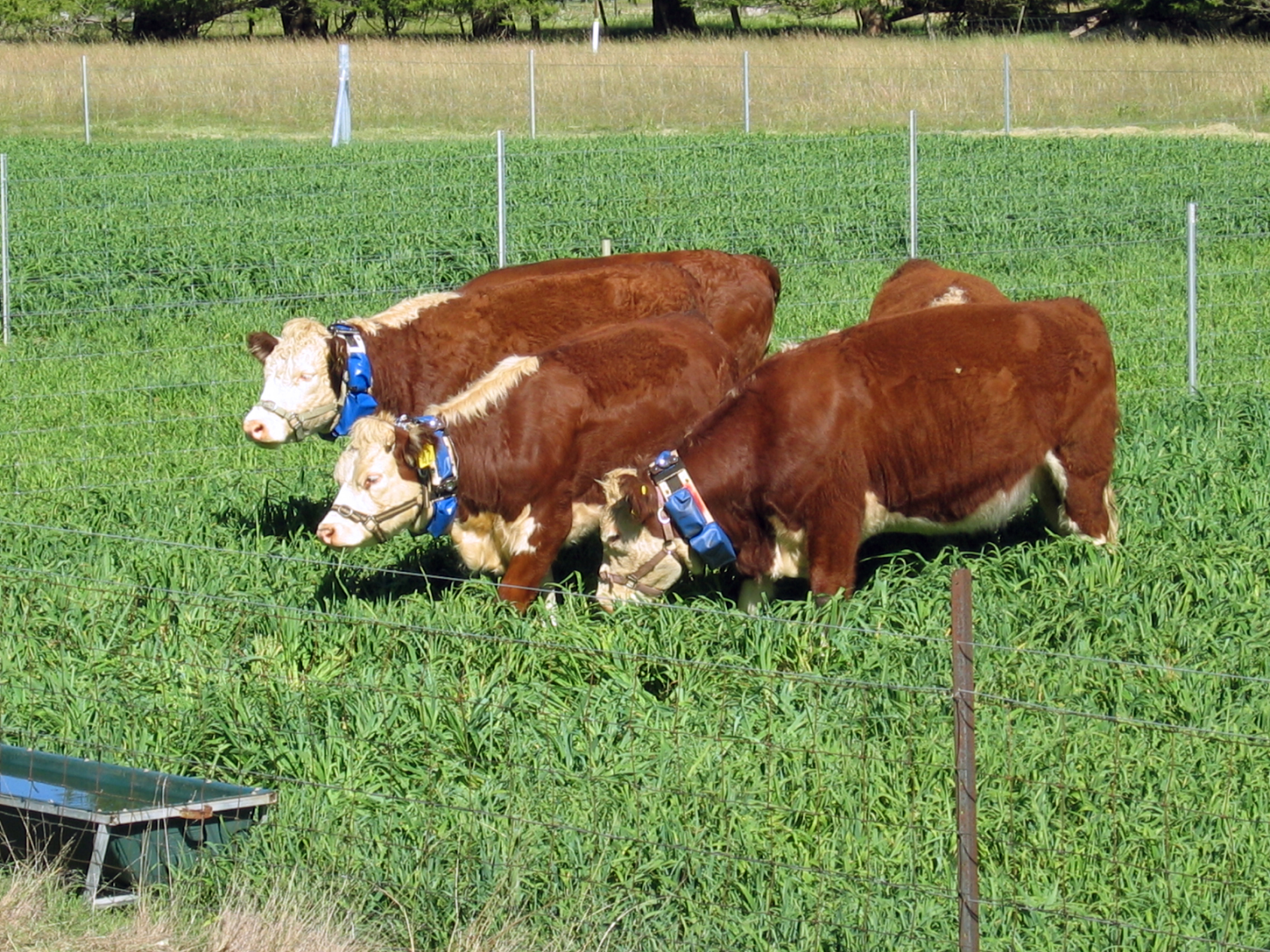 Cattle wearing virtual fencing collars
