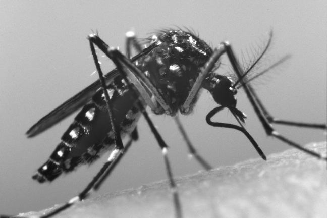 Image of Aedes aegypti mosquito