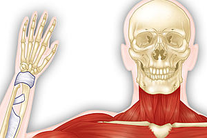Illustration of a skeleton waving with muscles and bones showing