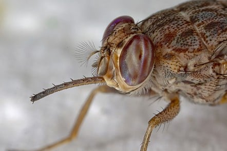 A close up view of the head of a tsetse fly. You can see its two large compound eyes as well as its' distinctive forward pointing proboscis. The body is brownish in colour, and is covered in small, fine black hairs.