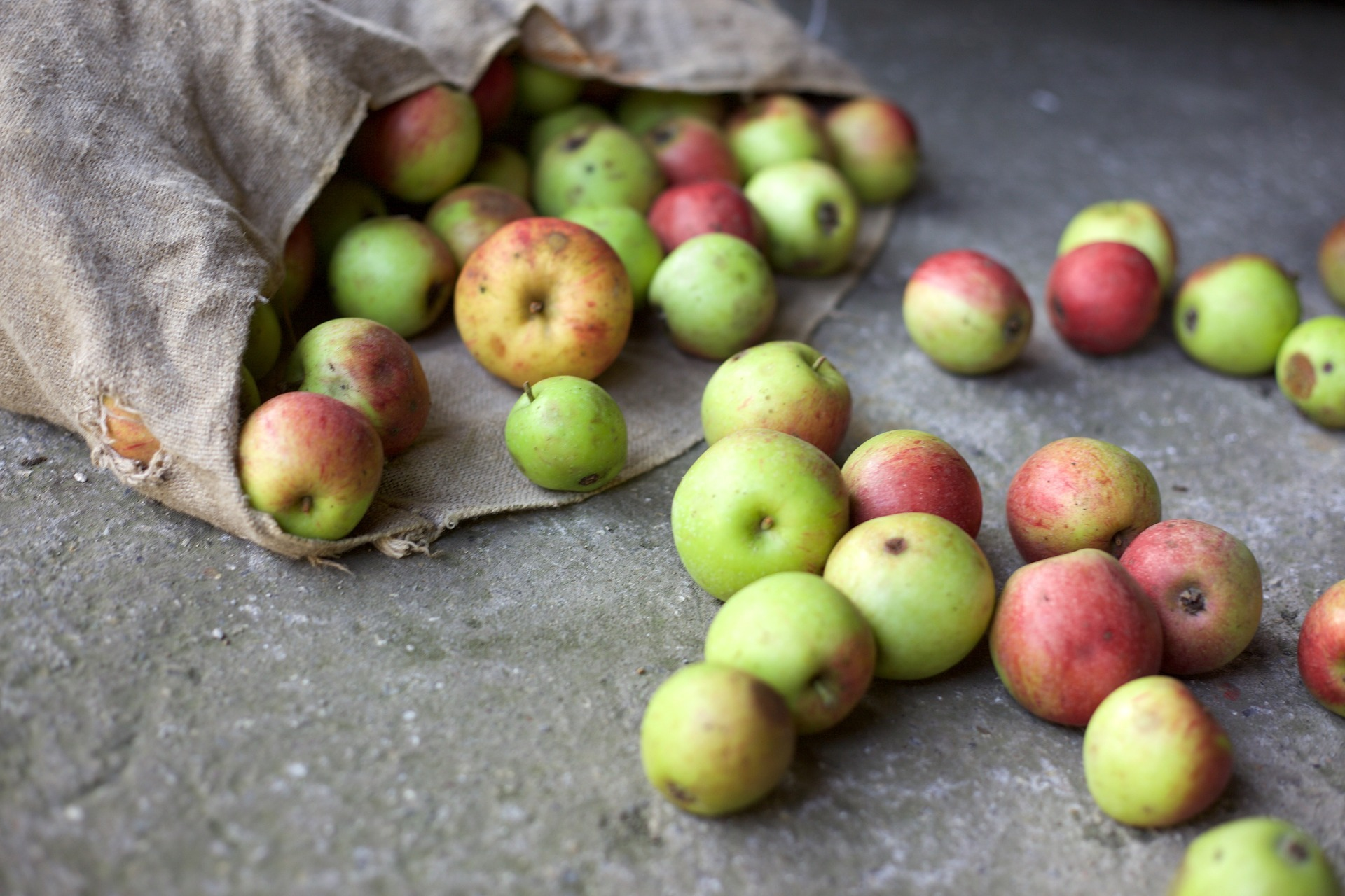 Apples in a sack sitting on its side with excess apples falling out