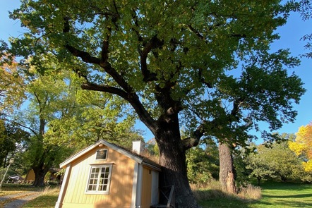 An oak tree and a fishing cabin entwined with one another, Stockholm, Sweden