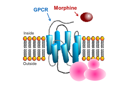 A schematic of a GPCR interacting with morphine