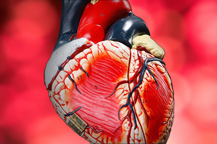 A physical model of a human heart.