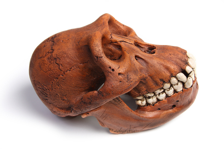 Image of a fossil skull of Australopithecus afarensis on its side