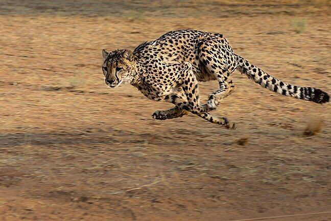 A cheetah big cat running at high speed
