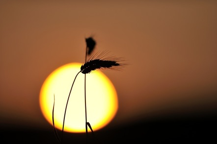 Sunset and wheat spike
