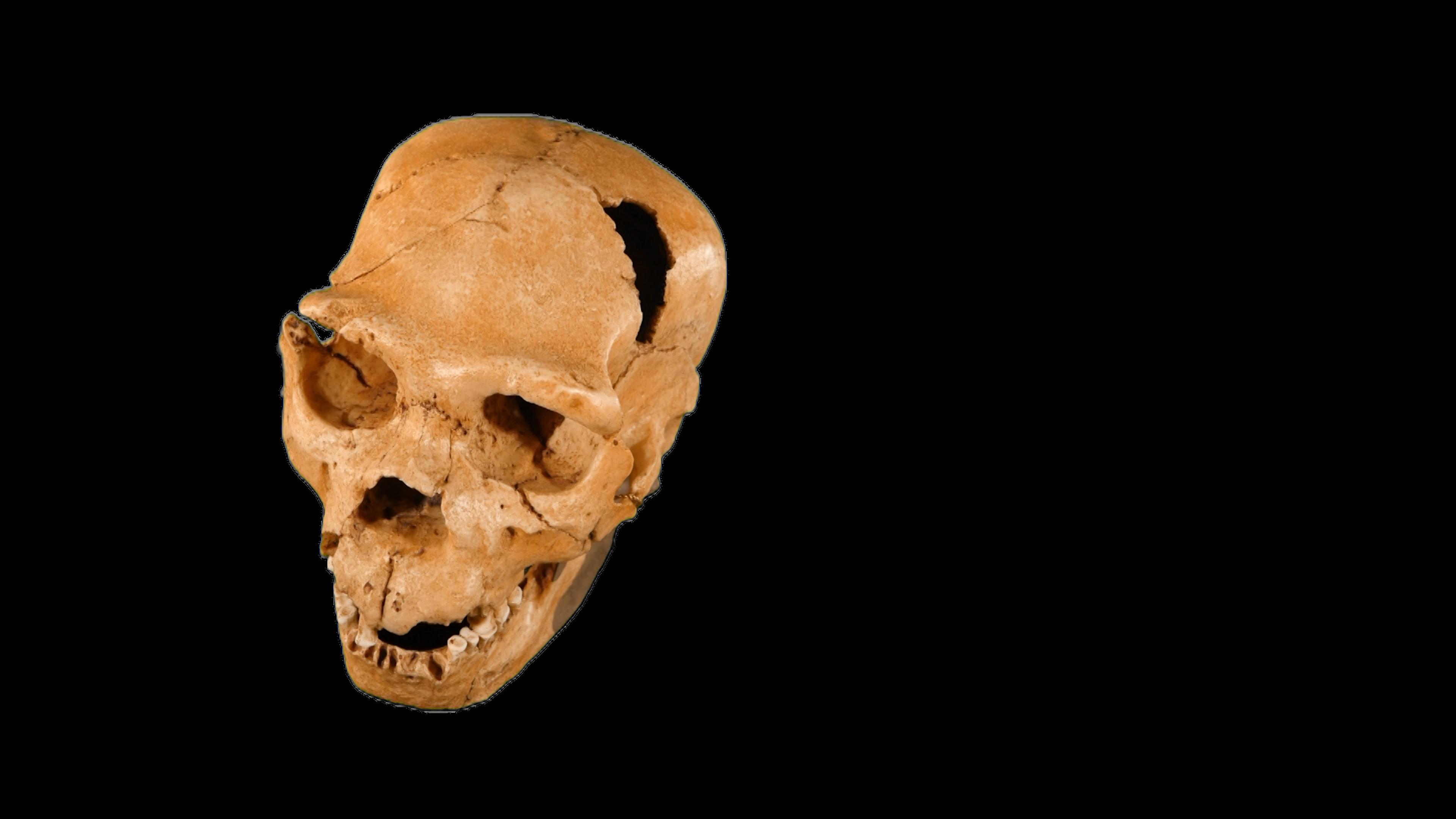 Skull of Early Homo neanderthalensis