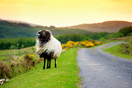 a sheep stands facing the camera on the side of a country road in Ireland with mountains, and fields in the bacgroud and surrounding area.