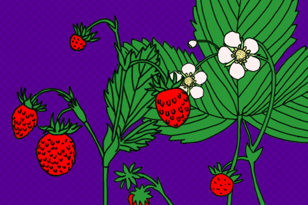 Strawberry plant before a blue background.