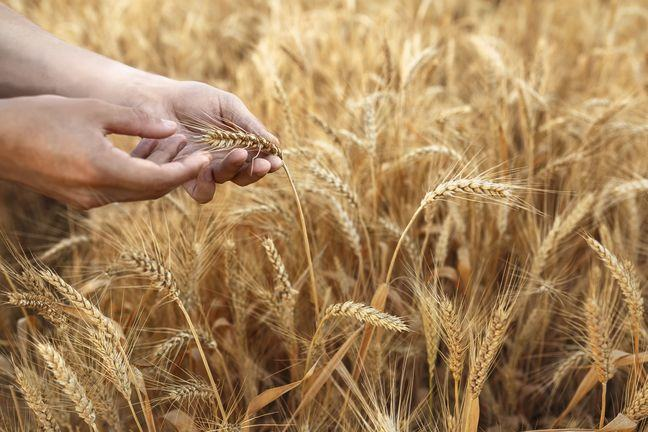 A field of ripe wheat with 2 hands holding an ear of wheat.