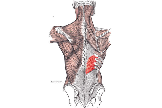 An illustration of the musculoskeletal system from Gray's Anatomy. The serratus posterior muscle is highlighted.