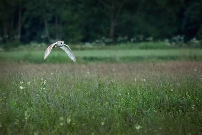 Owl flying over a field