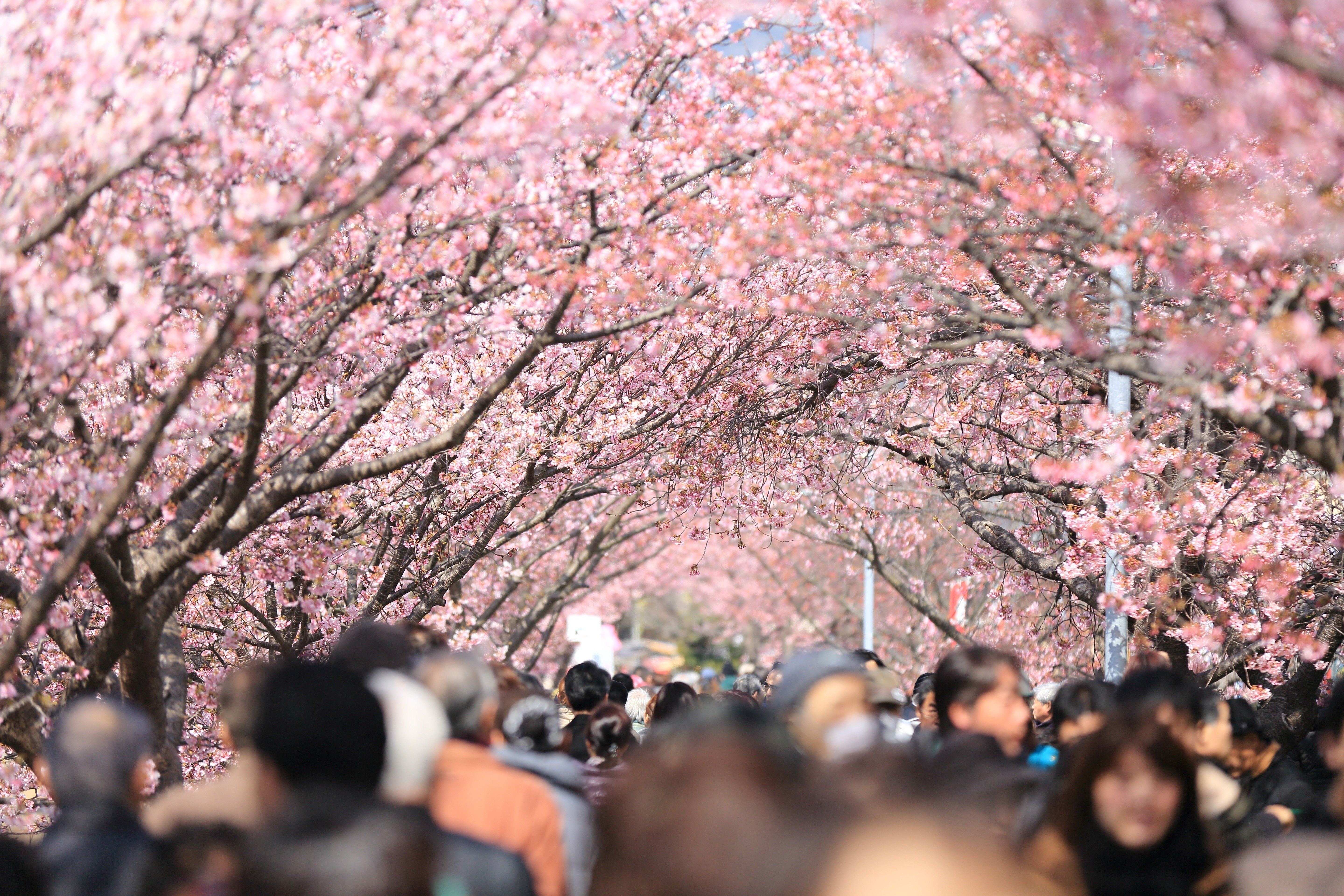 Cherry blossom and people.
