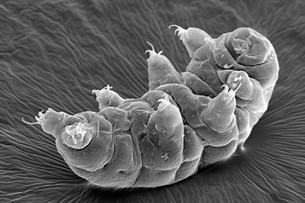 Micrograph image of a water bear, also known as a tardigrade.