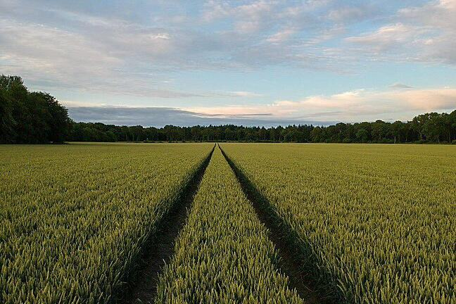 Photograph of field of wheat