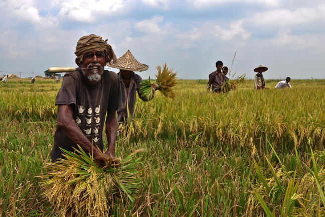 Harvesting of Paddy in a haor, Sunamganj, Bangladesh