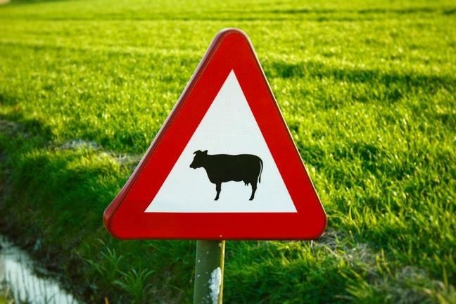 a white and red cattle triangular crossing sign, with a grass field in the background