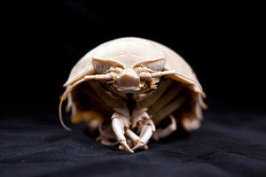 A deep ocean giant isopod