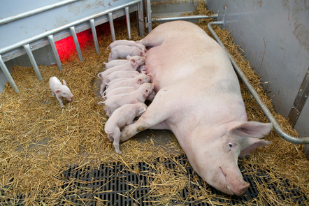 In this part of the course our expert talks about the economic benefits of having healthy pigs