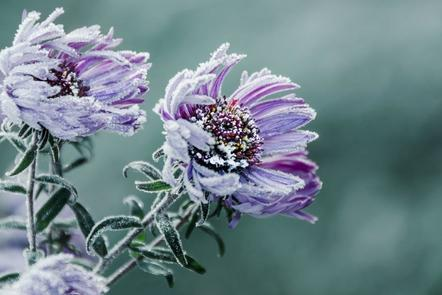 Flowers covered in frost