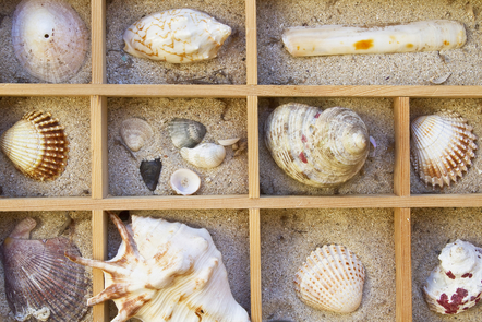 Different types of sea shells in a box with wooden dividers