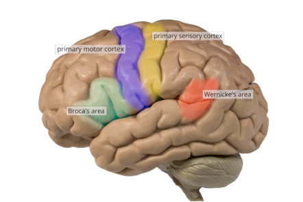The left hemisphere with crucial regions marked