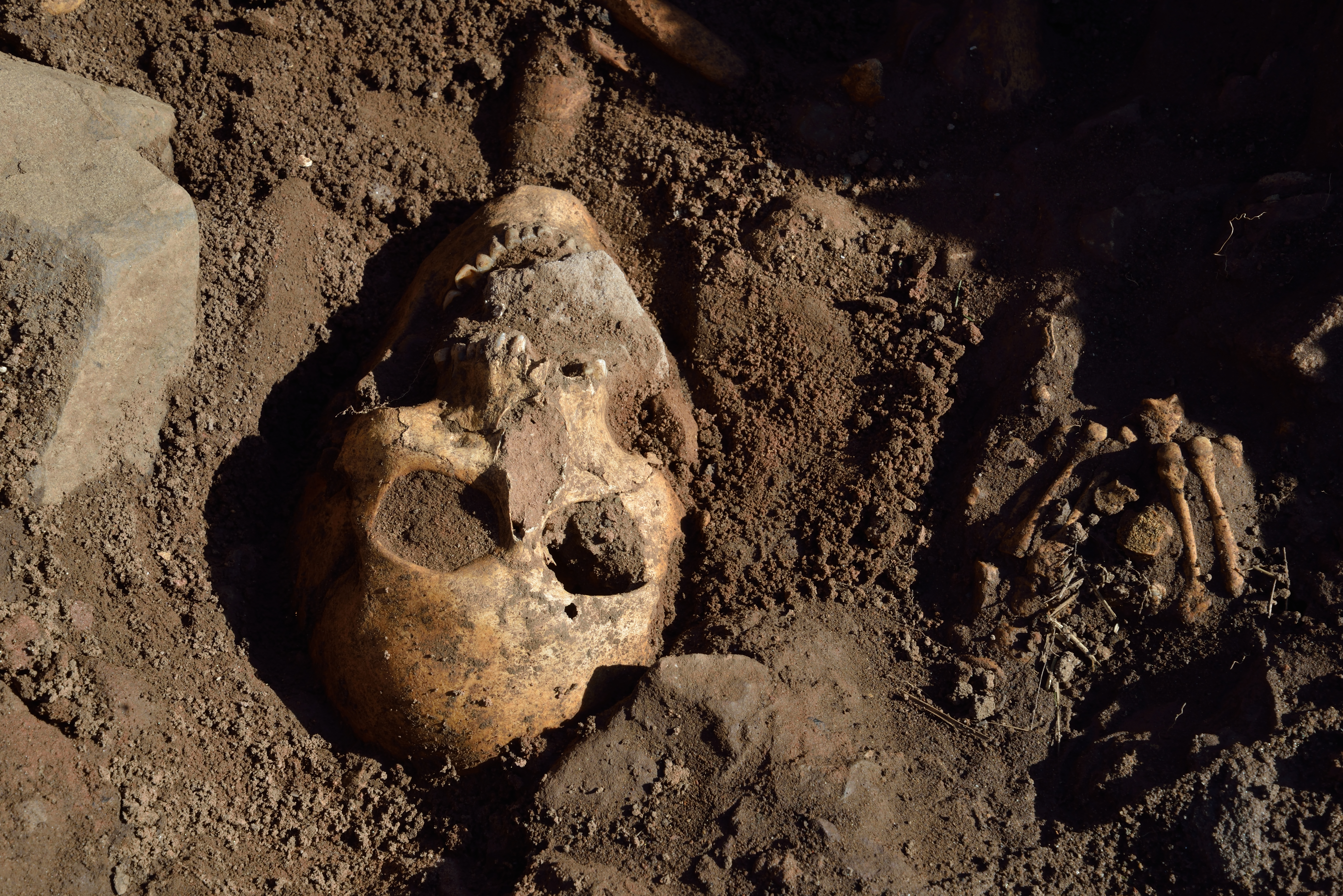 The skull of a skeleton that is being excavated. It is partially covered in soil.