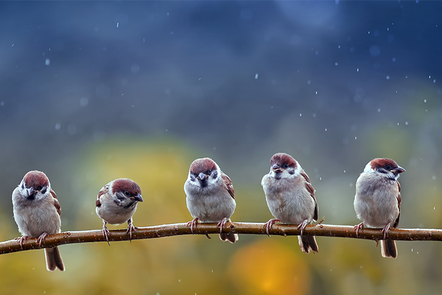 Image shows birds sitting on a stick.