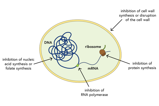 Schematic of a bacterium, showing DNA, mRNA, a ribosome, and the cell wall, and disruption by inhibition of nucleic acid synthesis, RNA polymerase, protein synthesis or cell wall synthesis, or disruption of cell wall