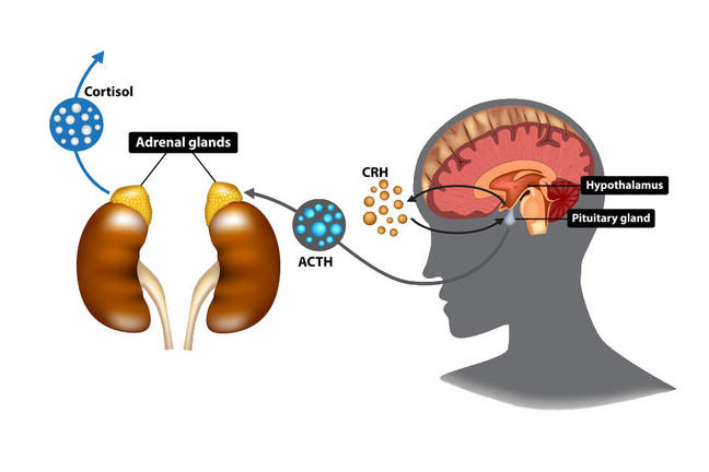 Hypotalamic-pituitary-adrenal axis. CRH, ACTH and cortisol are the 'messengers' that allow the communication along this axis, and that ultimately affect the whole body.