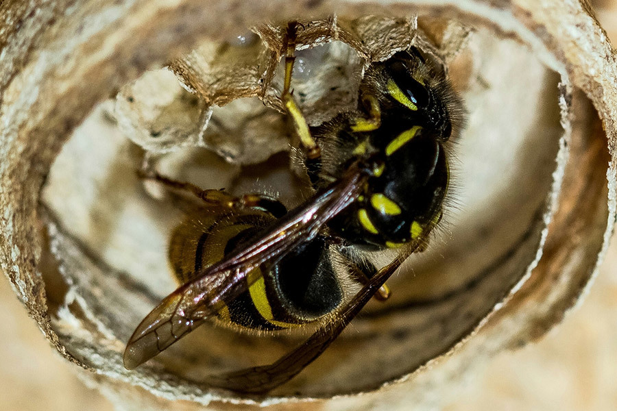 Close-Up Of Bee In Cocoon