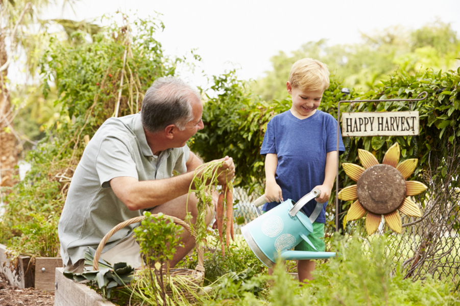 A man and a young boy in a garden watering plants and pulling carrots out of the ground.