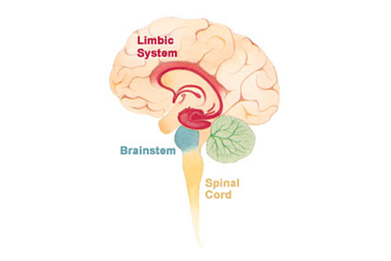 A schematic of the brain showing the limbic system, the spinal cord and the brain stem.