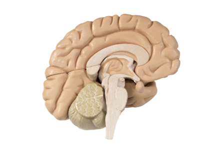 The left hemisphere seen from the inside