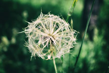 A dandelion ready to release its seeds