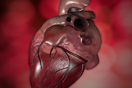 A computer generated representation of a human heart.